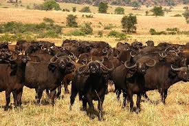 buffaloes in Kidepo valley national park