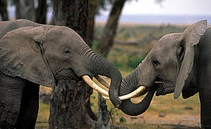 ivory and elephants-uganda