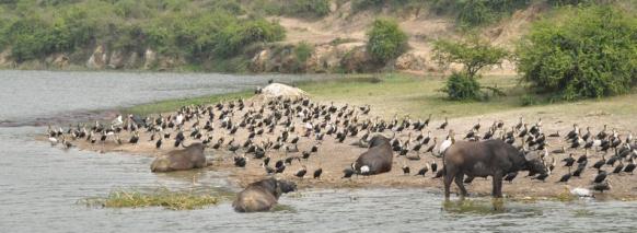 Kazinga uganda birding safari