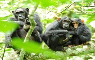 kibale - Chimps