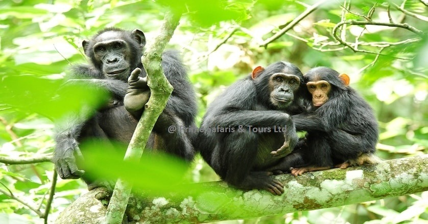 Uganda hosts the best chimpanzee trekking destinations in the world