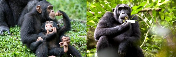 kibale-chimp-as-an-attraction