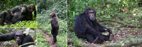 kibale-chimp-trekking uganda safari