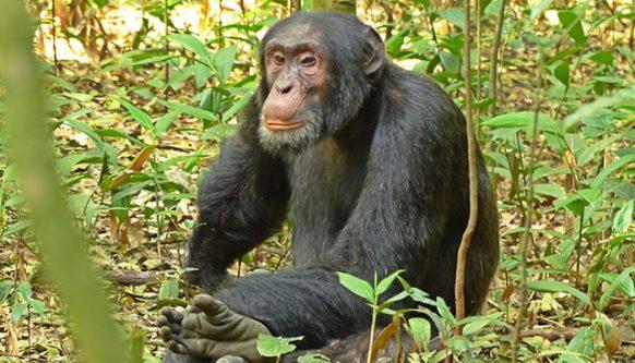 3 Days Chimpanzee Habituation Experience Safari