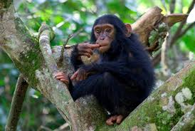 chimpanzees in Kibale forest np