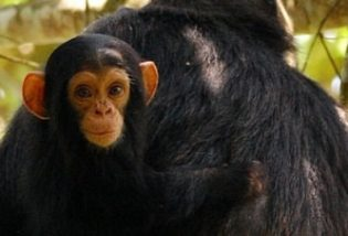 Kibale Forest National Park Uganda, Chimpanzee trekking in Kibale National Uganda