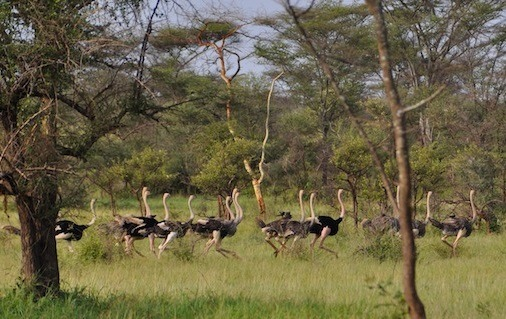 kidepo- valley -park -ostriches