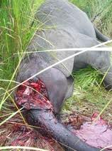 killed elephant