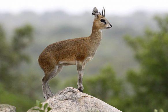 klipspringer-uganda-safaris-uganda-safari
