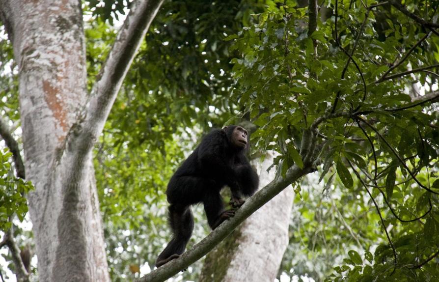 chimpanzee in kyabura gorge