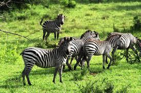 zebras at lake mburo