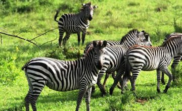 lake mburo zebras