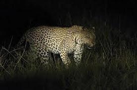 leopard -night game drives in uganda