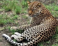 leopard- wildlife safaris