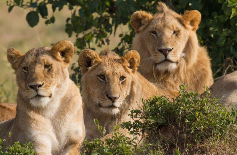 lions-in-akagera