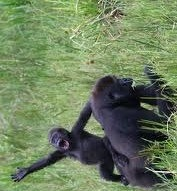 love in gorillas