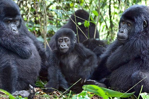 low-land-gorillas