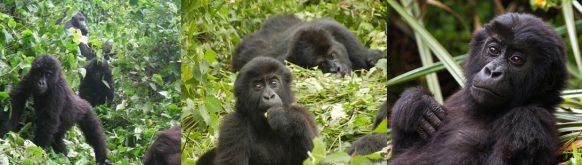 lowland-gorillas-congo safari