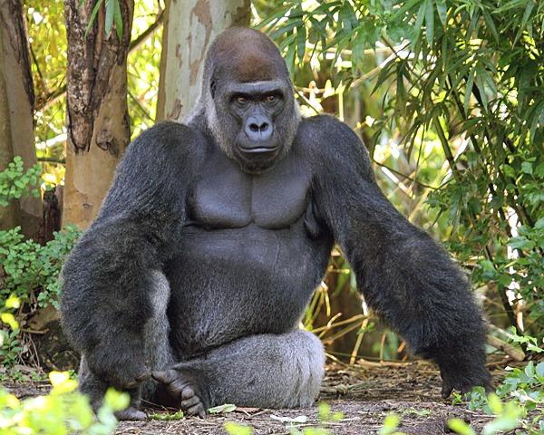 lowland-gorillas