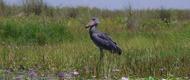 mabamba-birding-tour-uganda-safari