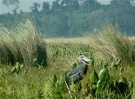 mabamba-shoebill