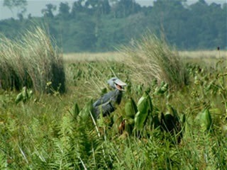 shoebill at mabamba swamp