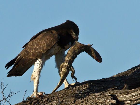 martial-eagle-uganda-safaris-uganda-tours