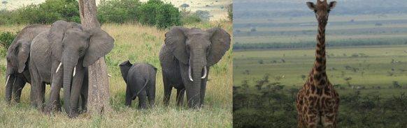 masai-mara-game drives kenya safari