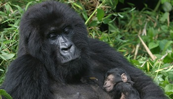 A baby gorilla feeling the mothers love