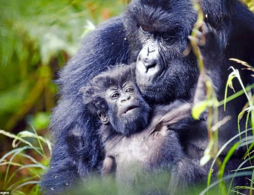 6 Days Group Uganda Gorilla Safari Chimpanzee Trekking & Wildlife Safari in Uganda