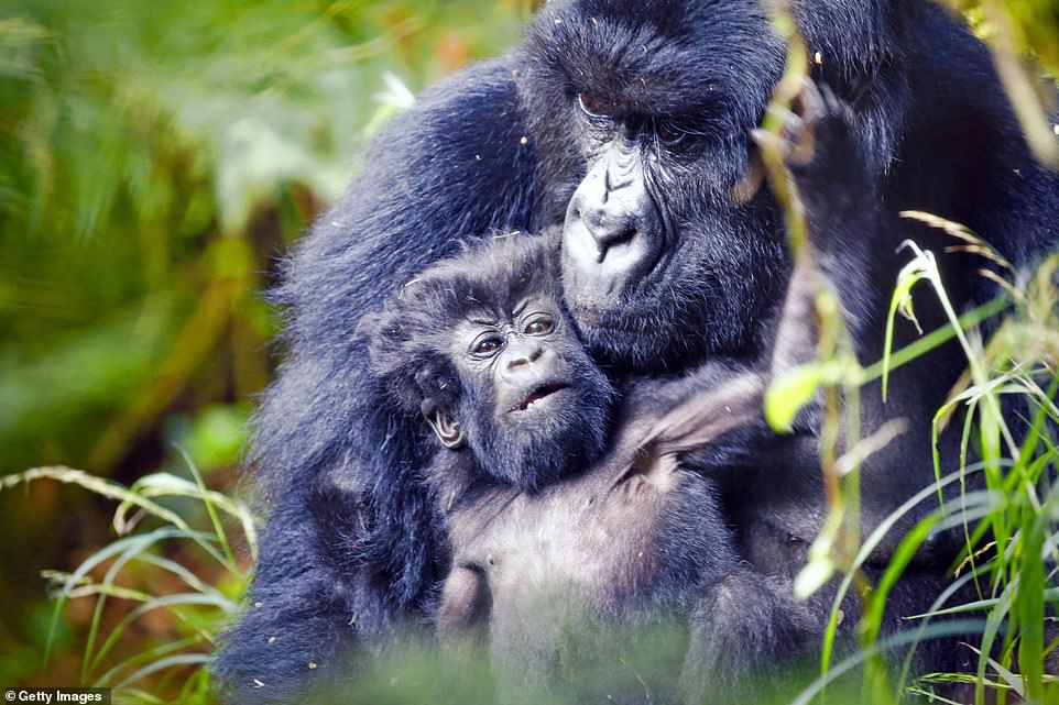 5 Perfect Reasons You Need to See Gorillas in Uganda – Uganda Safari News