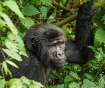 mgahinga safaris - uganda