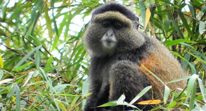 golden monkey in Mgahinga