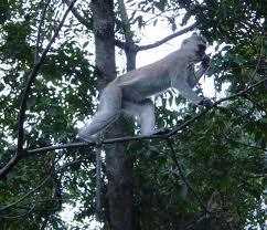 monkeys- primate safaris in uganda