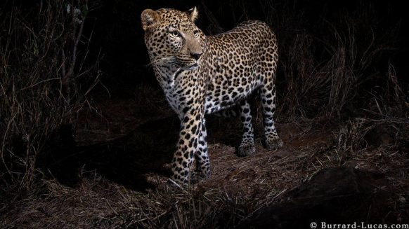 Normal leopard that accompanied the black leopard