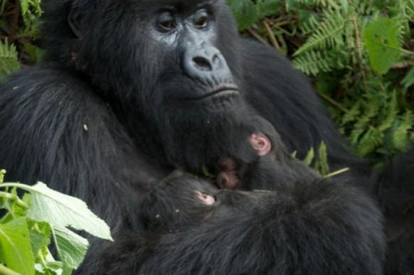 mother-twins-gorillas