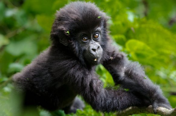 https://www.primeugandasafaris.com/gorilla-tracking-safaris-in-uganda/6-days-uganda-gorilla-tour.html