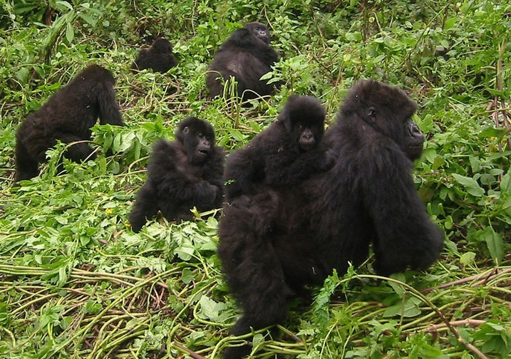 mountain gorillas of uganda bwindi