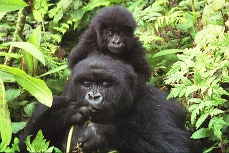 mountain_gorillas
