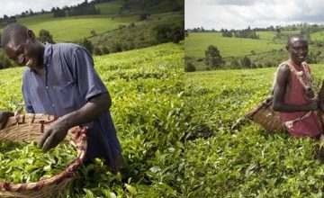 mpanga-tea-estate-agricultural-tours