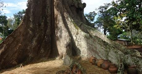 nakayima tree - cultural safaris in uganda