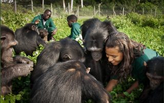 Ngamba Island Chimpanzee Sanctuary-Uganda safari news