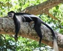 Black and white colobus monkey nyungwe