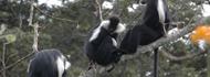 nyungwenp-monkeys
