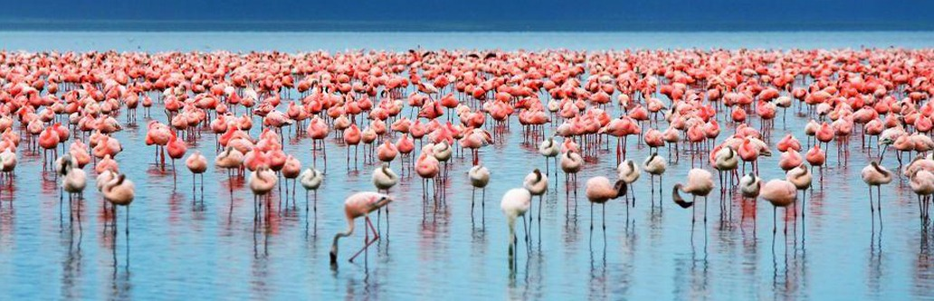 pink flamingoes lake manyara east african safaris