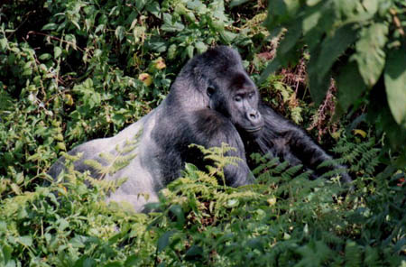 prime safaris gorillas