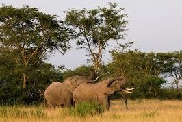 elephants at queen elizabeth -uganda