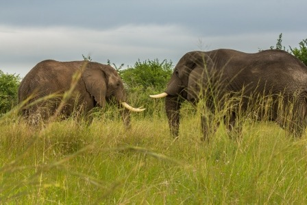 elephants at Queen Elizabeth NP