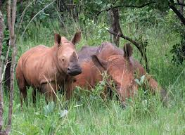 rhinos uganda safaris