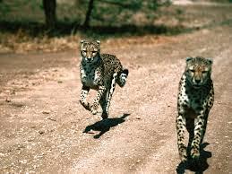 leopards- wildife safaris in uganda